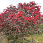 d_coral_tree_in_bloom