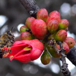 g_bee_on_coral_tree