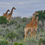 j_giraffe_in_noors_thicket