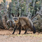 l_bat_eared_fox